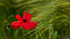Poppy, Humble Bee and Barley (BraCom (Bram)) Tags: 169 bracom bramvanbroekhoven depthoffield dof hoekschewaard holland insect mijnsheerenland nederland netherlands papaver southholland zuidholland barley bee bloeiend bloem bloemblaadjes blooming bokeh closeup flower gerst green hommel humblebee klaproos macro petals poppy red rood summer widescreen zomer saariysqualitypictures