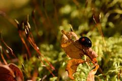 DSC_8509 (Hachimaki123) Tags: 日本 japan 御岳山 mitakesan mtmitake animal insect insecto coleopter coleóptero coleopteran coleoptero 虫 動物 ladybug mariquita