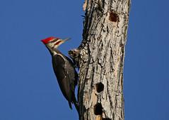 Male Pileated Woodpecker...#5 (Guy Lichter Photography - 5.1M views Thank you) Tags: canon 5d3 canada manitoba winnipeg wildlife animal animals bird birds woodpecker pileatedwoodpecker male