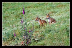 FOX GLOVES AND FOX CUBS (PHOTOGRAPHY STARTS WITH P.H.) Tags: fox cubs nikon d4s 500mm afs vr 14 teleconverter devon gitzo mk5 wimberley wh200 gimbal