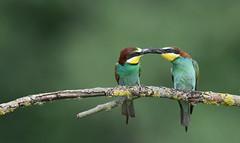 offrande (Guillaume Dardant) Tags: nature sauvage oiseaux bird loiret loire d810 nikon 500mmf4 méropidé guêpierdeurope coraciiformes meropsapiaster offrande europeanbeeeater affût