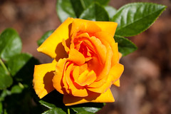 Maig_0388 (Joanbrebo) Tags: flors flores flowers fiori fleur blumen blossom rose rosa park parque parc parccervantes garden jardín jardí canoneos80d eosd autofocus