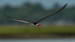 Skimmer in your face. (Earl Reinink) Tags: slimmer nature bird animal wildlife water sea beak blackskimmer flight flying earlreinink oeaauaodea