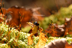 DSC_8512 (Hachimaki123) Tags: 日本 japan 御岳山 mitakesan mtmitake animal insect insecto coleopter coleóptero coleopteran coleoptero 虫 動物 ladybug mariquita