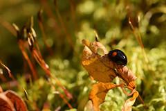 DSC_8511 (Hachimaki123) Tags: 日本 japan 御岳山 mitakesan mtmitake animal insect insecto coleopter coleóptero coleopteran coleoptero 虫 動物 ladybug mariquita