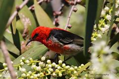 Scarlet Honeyeater 01-05-2019 (Annette_747) Tags: scarlethineyeater bird nature wildlife australia queensland wetlands park