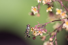 just browsing (KevPBur) Tags: canon80d canonextenderef14xiii closeup gardensafari hoverfly polaroid500dcloseuplens feeding flower