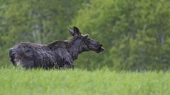 Moose - Elg (Ann and Chris) Tags: moose norway wildlife animal nature roadside nordland hemnes north