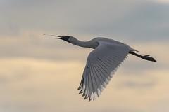 Royal Spoonbill in flight (njohn209) Tags: birds d500 nikon nz