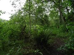 Ferny stump (Phil Gayton) Tags: undergrowth verdant tree fern riverside walk totnes devon uk