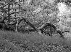 Hyons Wood. Mamiya 645E, Ilford Delta 100 in FX39 (Jonathan Carr) Tags: tree hyonswood decay ancientwoodland blackandwhite monochrome mediumformat mamiya rural northeast