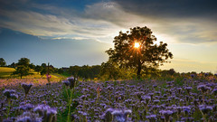 Sunset with Phacelia (Chrisgraphy) Tags: adelhausen lörrach sunset phacelia tree sky nature light clouds summer