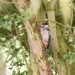 Juvenile Greater Spotted Woodpecker (rq uk) Tags: rquk nikon d750 afsnikkor70200mmf28efledvr afsteleconvertertc14eiii bitternhide dintonpastures greatspottedwoodpecker juvenile nikond750