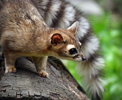 A Kringle Day! (MTSOfan) Tags: ringtail kringle lvz mammal nocturnal bassariscusastutus