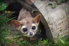 No Friends (MTSOfan) Tags: ringtail kringle lvz mammal nocturnal bassariscusastutus cute