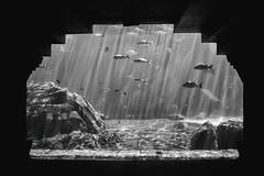 Paradise Island (Thomas Hawk) Tags: atlantis atlantisresort bahamas nassau paradiseisland aquarium bw fish vacation newprovidence thebahamas fav10 fav25