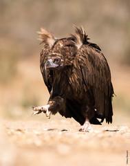 Cinereous vulture (Mary Bassani) Tags: aegypiusmonachus cinereousvulture vulture buitr avvoltoio conservation naturewildlife naturewildlifephotographer naturaleza naturelovers birdofprey aves raptors rapaces wildlifephotographer wild spain