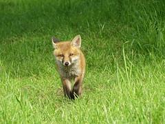 Fox cub (Julian Hodgson) Tags: fox cub vulpesvulpes woodwaltonfen nationalnaturereserve ramseyheights cambridgeshire unitedkingdom wildlife sonydschx400v