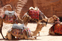 camels (adeep.krish) Tags: camel animal desert