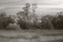 River of grass (baro-nite) Tags: forest pentax infrared marsh baldheadisland k5 iridientdeveloper smcpentax13535mm