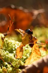 DSC_8515 (Hachimaki123) Tags: 日本 japan 御岳山 mitakesan mtmitake animal insect insecto coleopter coleóptero coleopteran coleoptero 虫 動物 ladybug mariquita