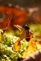 DSC_8513 (Hachimaki123) Tags: 日本 japan 御岳山 mitakesan mtmitake animal insect insecto coleopter coleóptero coleopteran coleoptero 虫 動物 ladybug mariquita