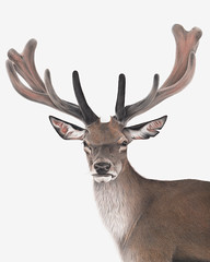 Red Deer (RachelCardillustration) Tags: red deer antlers wildlife horns art artist illustration illustrator reddeer color coloured pencil colouredpencils drawing sketch realism animal