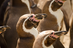 Dinner is served (XC666) Tags: penguin colony planckendael zoo
