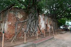 The ancient temple is surrounded by the Bodhi tree. Sang Kra Tai Temple Ang Thong Thailand (naiyofoto) Tags: wood asian ruin buddhist nature buddhas monument city cover best religion angthong faith historical root statue buddha spiritual ancient site heritage tree antique sculpture temple thailand