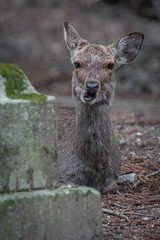 Elegance (JeffMoreau) Tags: elegance deer nara park sony a7ii bokeh bokehlicious chew cud