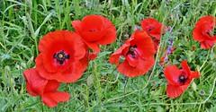 Grote klaproos - Papaver rhoeas (henkmulder887) Tags: groteklaproos papaverrhoeas papaveraceae busselte gemeentewesterveld wei weide weiland wildebloemen rood juni