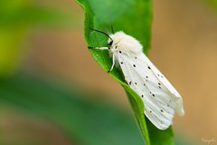 Lymantriidae (takapata) Tags: sony sel90m28g ilce7m2 macro nature insect moth