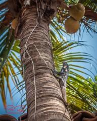 RomanLensDSC_0276-16x10signdotcom (RoManLeNs) Tags: romanlens wildanimals animals animal tree nature vegetation vertebrate alive summer lizard green iguana nopeople
