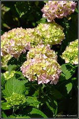 _DSF0157-Edit.jpg (DrOpMaN®) Tags: fujinon m43turkiye korhankumral fujinonxc1650mmf3556ois lightroomclassic fuji outdoor flowersplants xe2 fujifilm on1