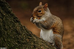 Sciurus carolinensis (Mauro Hilário) Tags: mammal animal central park new york wildlife urban nature furry cute gray squirrel eating brown canon