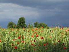 Champs de céréales et coquelicots (afaribault) Tags: champs céréales coquelicots arbres orage