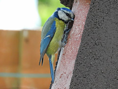 Are you still in there? (Linda 2409) Tags: bluetit bird gardenbird