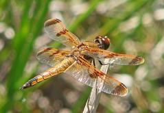 Painted skimmer (Vicki's Nature) Tags: paintedskimmer male dragonfly golden orange spots bokeh biello georgia vickisnature canon s5 4008 april