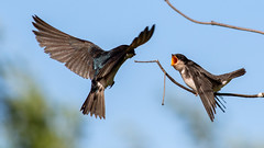 Tree Swallow Feeding Chick (Gary R Rogers) Tags: bird bluesky treeswallow flight swallow parentfeedingchick