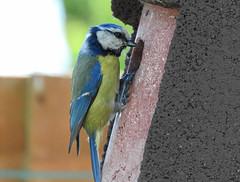 Blue tit encouraging its young to fledge, Rayleigh, Essex (Linda 2409) Tags: bird bluetit gardenbird