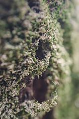 Le fil de l'arbre (Fabrice Denis Photography) Tags: nouvelleaquitaine france archingeay charentemaritime textures macrophotography mousse arbres macro charnais lichen