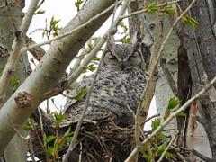 Great Horned Owl (pamfromcalgary) Tags: bird birdofprey greathornedowl southernalberta pamhawkes