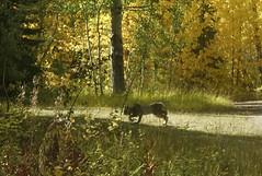 Canada Lynx (Forest Service - Northern Region) Tags: wildlife flatheadnationalforest montana lynxcanadensis canadalynx fallcolors autumn