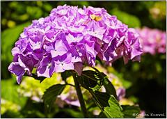 DSCF0158ps (DrOpMaN®) Tags: fujifilm fujinonxc1650mmf3556ois xe2 flowersplants on1 m43turkiye