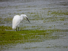 Little Egret (Pendlelives) Tags: wildfowl trust male female portrait portraits head bird birds wildlife nature water lake lakes martin mere lancashire reflections vibrance nikon p1000 uk british england pendlelives little egret fishing hunting