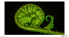 frond - HMM! (Hartmut Schulz Photography) Tags: curves farn farnwedel hartmutschulz macromondays photography fern mittwochsmakro