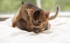 Two-Kitten Mess (peter_hasselbom) Tags: cat cats kitten kittens abyssinian ruddy usual blue 3weeksold 2cats 2kittens play window pillow 50mm
