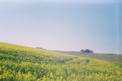 Repce (Moesko Photography) Tags: analogue smena8m rape field spring landscape nature outdoor hungary rural