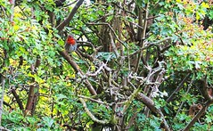 robinhedge (petern1694) Tags: robin hedge hedgerow bird nature canon canonpowershotg5x leaves foliage gardenbird wildlife