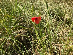Poppy (sally.mcclarnon) Tags: solitary summer wild nature albury flower red poppies